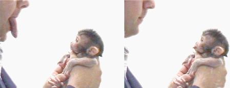 Makak neonatal imitation/Wikipedia