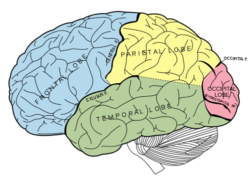 Principal fissures and lobes of the cerebrum viewed laterally/Wikipedia